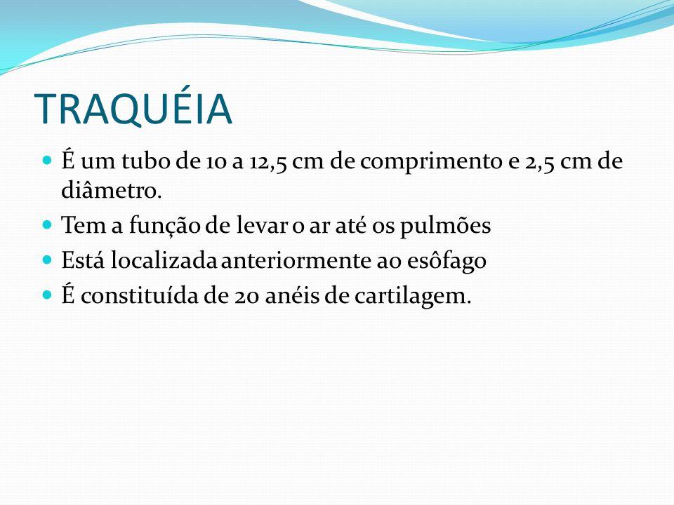 TRAQUÉIA É um tubo de 10 a 12,5 cm de comprimento e 2,5 cm de diâmetro. Tem a função de levar o ar até os pulmões Está localizada anteriormente ao esô
