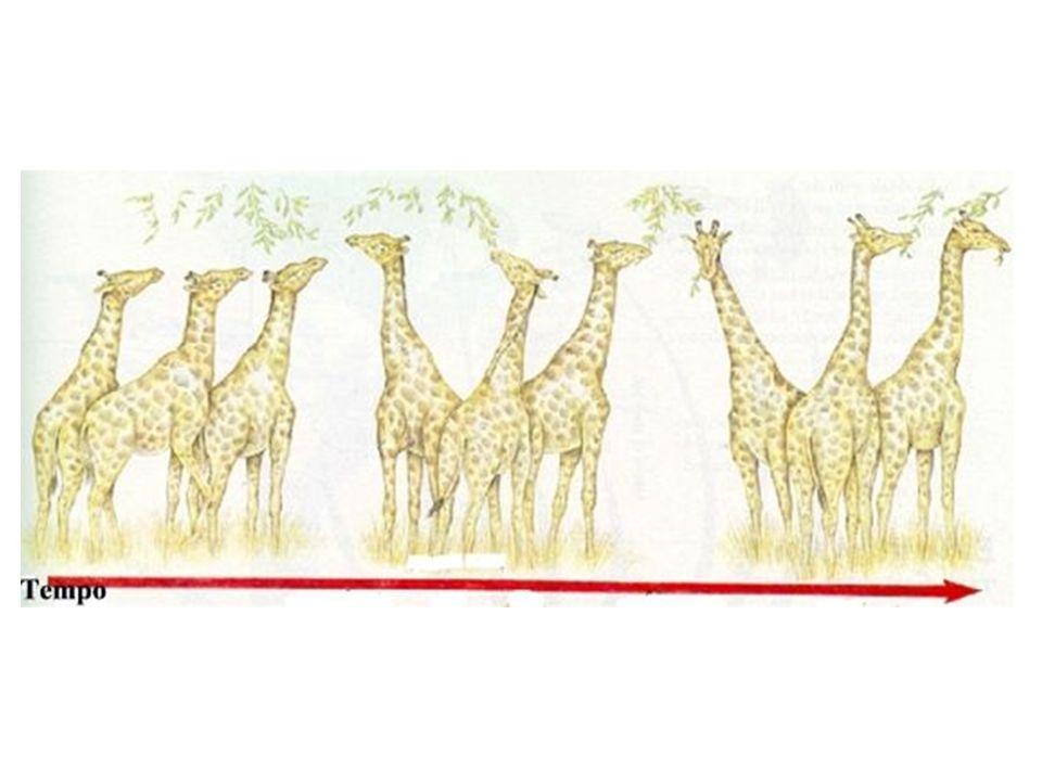 Visão darwinista Girafas com pescoços de vários comprimentos Alteração ambiental – diminuição da vegetação rasteira Mortalidade das girafas de pescoço curto e sobrevivência das girafas de pescoço longo Reprodução das girafas de pescoço longo e descendentes com pescoço longo