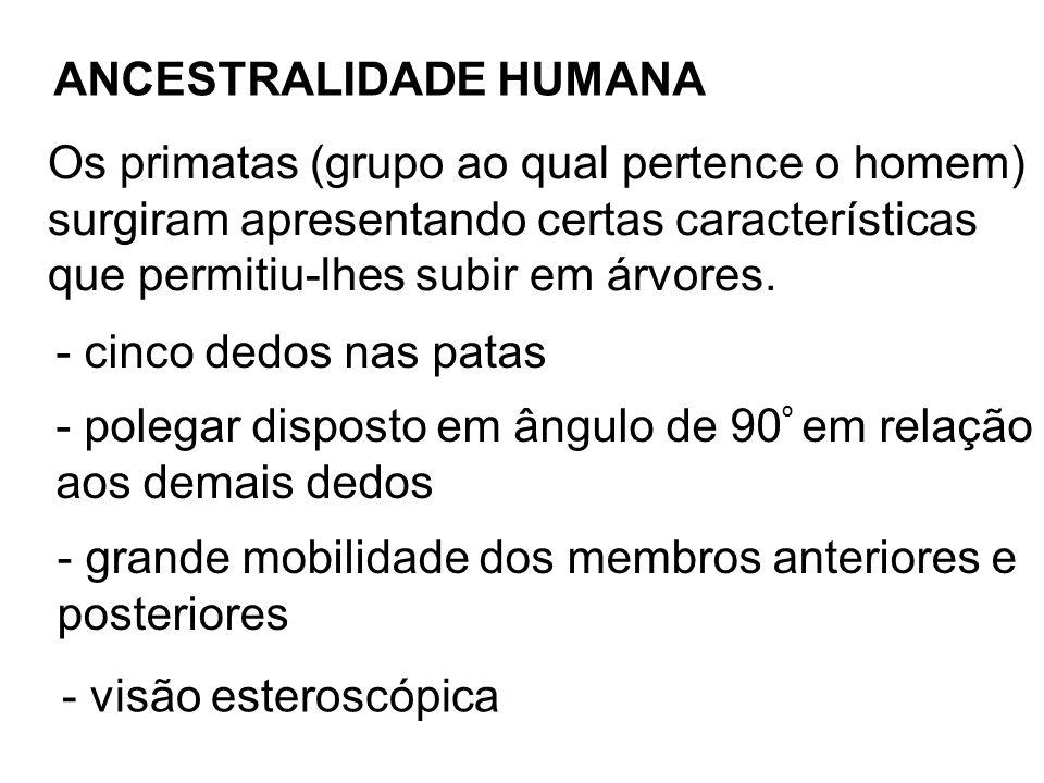 Os primatas se dividem em duas subordens Prossímios: társios, lêmures e lorises Antropóides Macacos do Novo Mundo Super Família Hominoidea Família Hylobatidae (gibão) Família Pongidae (gorila, chimpanzé, orangotango) Família Hominidae (homem e ancestrais fósseis) Macacos do Velho Mundo (35 m.a)