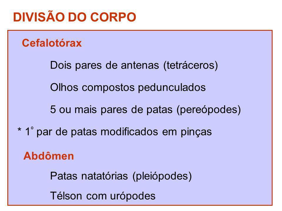 DIVISÃO DO CORPO Cefalotórax Dois pares de antenas (tetráceros) Olhos compostos pedunculados 5 ou mais pares de patas (pereópodes) * 1 º par de patas
