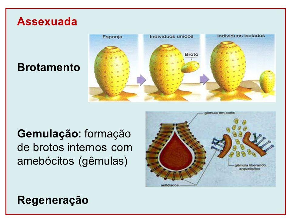 Assexuada Brotamento Gemulação: formação de brotos internos com amebócitos (gêmulas) Regeneração