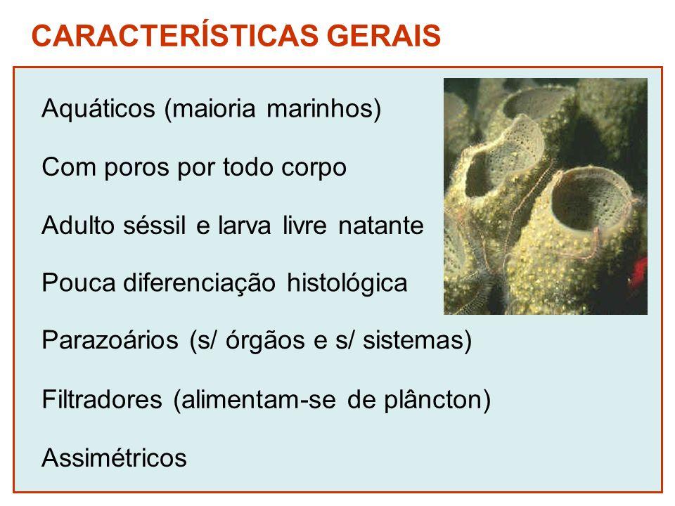 CARACTERÍSTICAS GERAIS Aquáticos (maioria marinhos) Adulto séssil e larva livre natante Pouca diferenciação histológica Parazoários (s/ órgãos e s/ si
