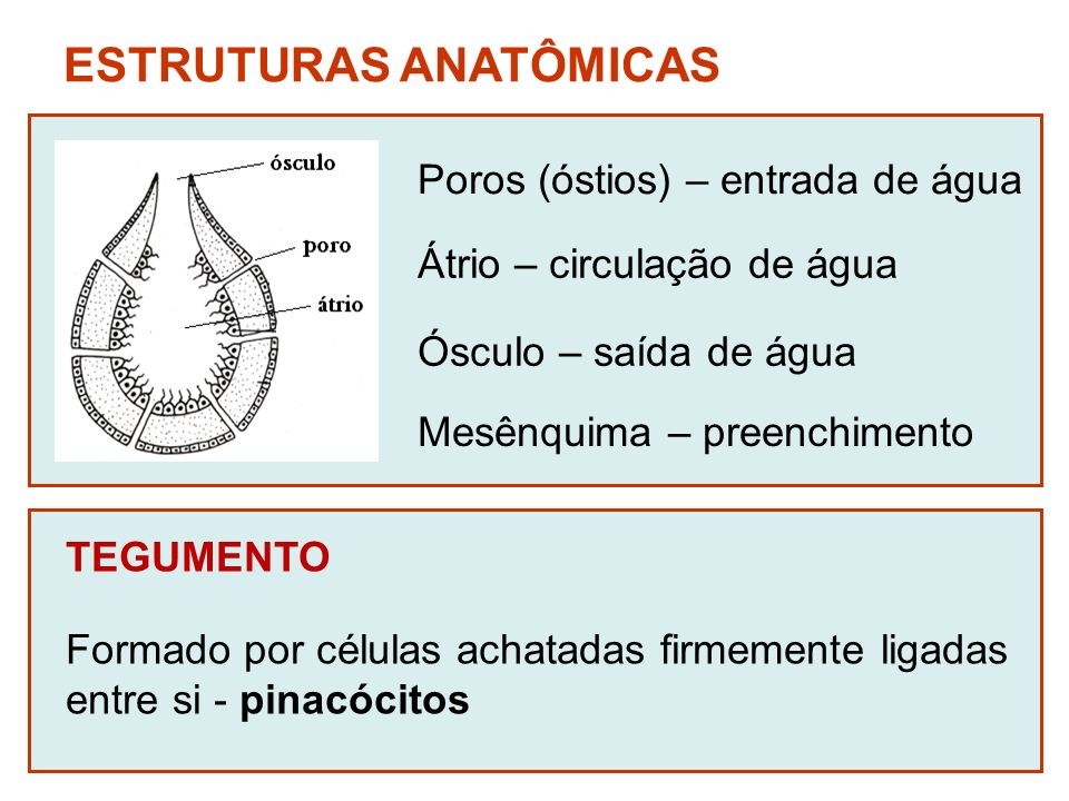 ESTRUTURAS ANATÔMICAS Poros (óstios) – entrada de água Átrio – circulação de água Ósculo – saída de água TEGUMENTO Formado por células achatadas firme