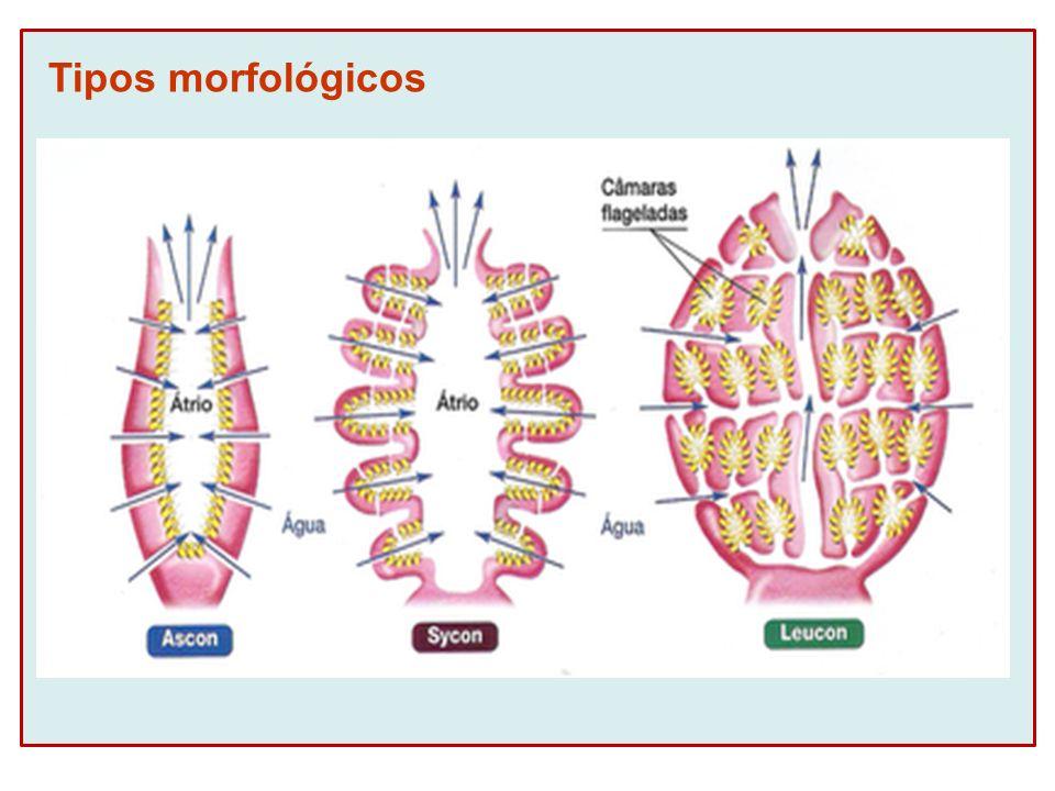 REPRODUÇÃO Sexuada Fecundação interna (mesênquima) Desenvolvimento indireto (larva anfiblástula)