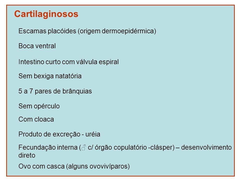 Cartilaginosos Escamas placóides (origem dermoepidérmica) Boca ventral Intestino curto com válvula espiral Sem bexiga natatória 5 a 7 pares de brânqui