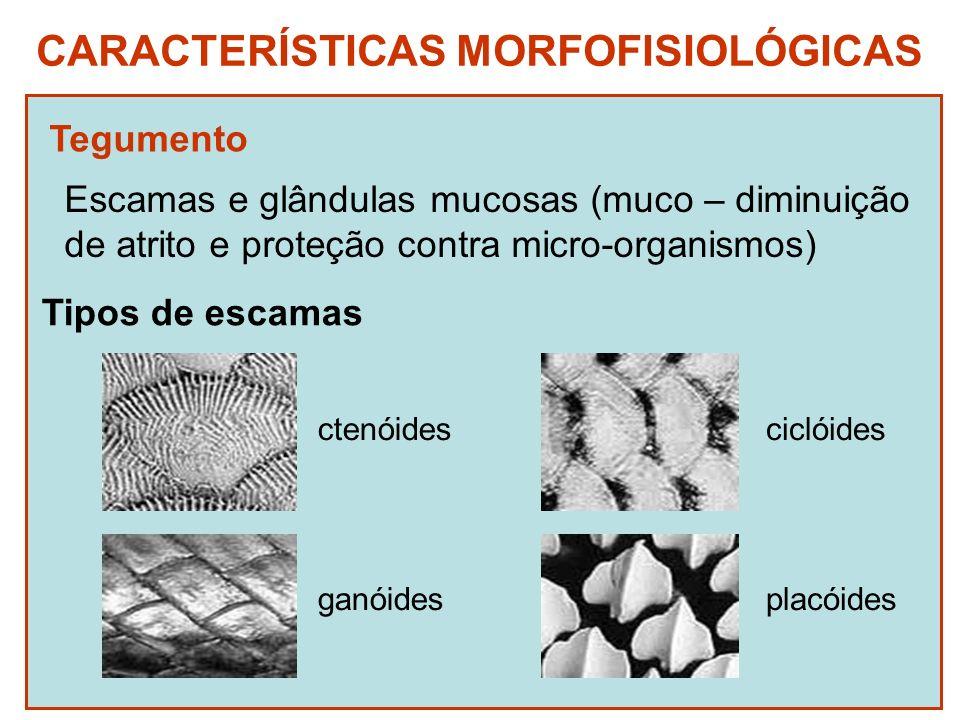 CARACTERÍSTICAS MORFOFISIOLÓGICAS Tegumento Escamas e glândulas mucosas (muco – diminuição de atrito e proteção contra micro-organismos) Tipos de esca