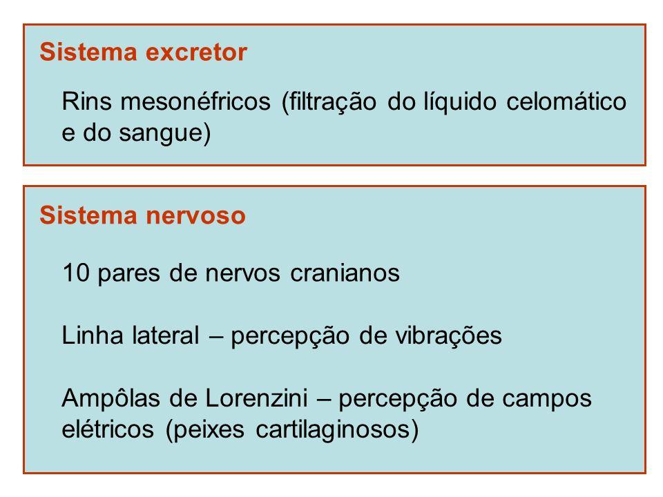 Sistema excretor Rins mesonéfricos (filtração do líquido celomático e do sangue) Sistema nervoso 10 pares de nervos cranianos Linha lateral – percepçã
