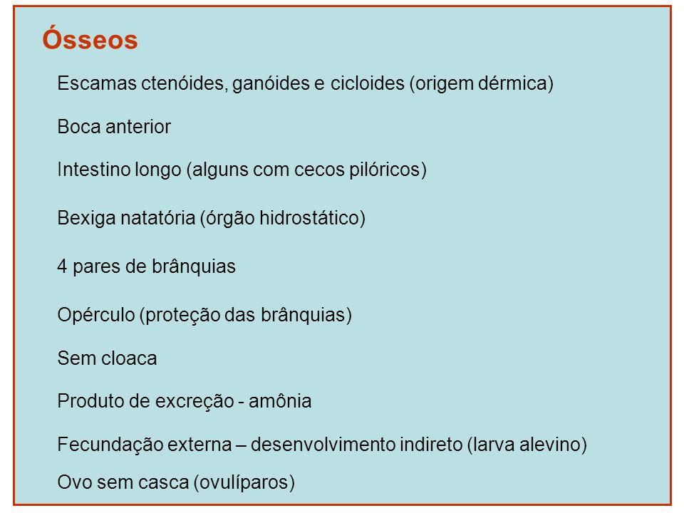 Ósseos Escamas ctenóides, ganóides e cicloides (origem dérmica) Boca anterior Intestino longo (alguns com cecos pilóricos) Bexiga natatória (órgão hid