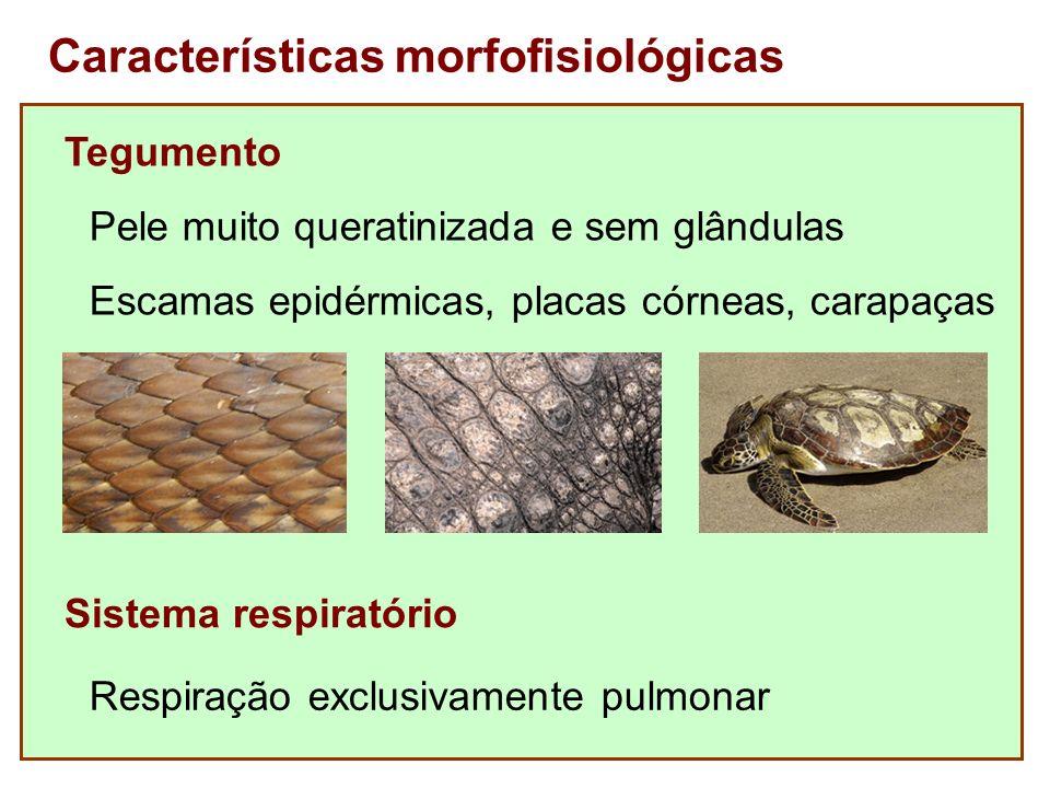 Características morfofisiológicas Tegumento Pele muito queratinizada e sem glândulas Sistema respiratório Respiração exclusivamente pulmonar Escamas e