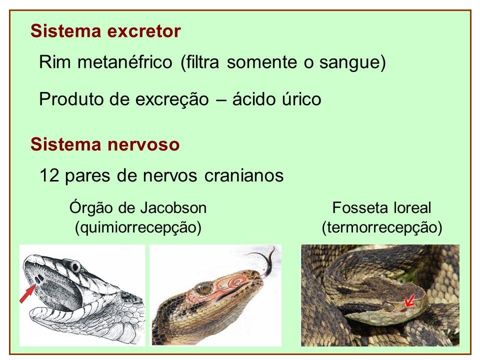Sistema excretor Rim metanéfrico (filtra somente o sangue) Sistema nervoso 12 pares de nervos cranianos Produto de excreção – ácido úrico Fosseta lore