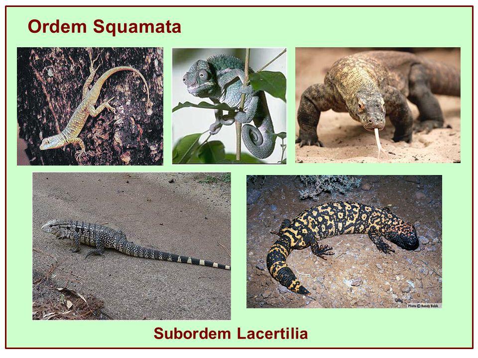 Ordem Squamata Subordem Lacertilia