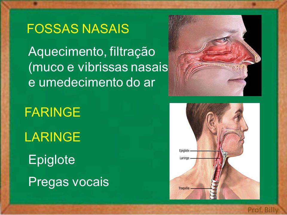 Aquecimento, filtração (muco e vibrissas nasais) e umedecimento do ar FOSSAS NASAIS FARINGE Epiglote Pregas vocais LARINGE