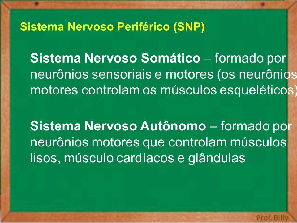 Sistema Nervoso Periférico (SNP) Sistema Nervoso Somático – formado por neurônios sensoriais e motores (os neurônios motores controlam os músculos esq