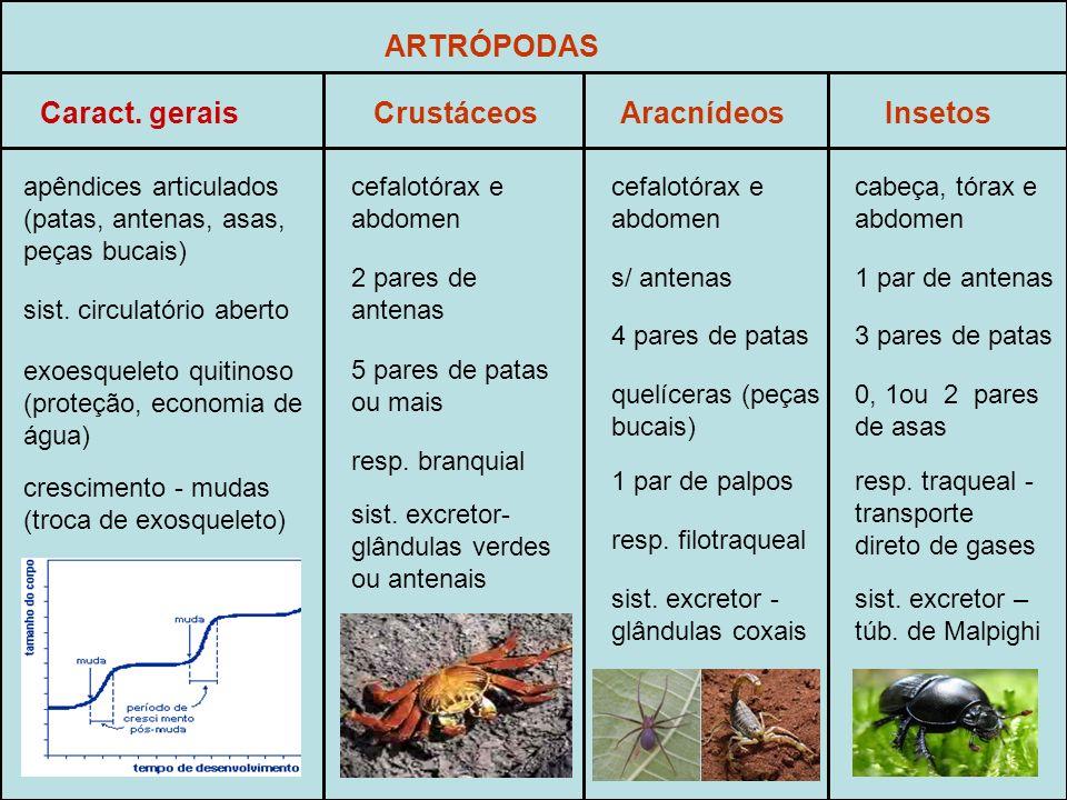 ARTRÓPODAS apêndices articulados (patas, antenas, asas, peças bucais) exoesqueleto quitinoso (proteção, economia de água) crescimento - mudas (troca de exosqueleto) sist.
