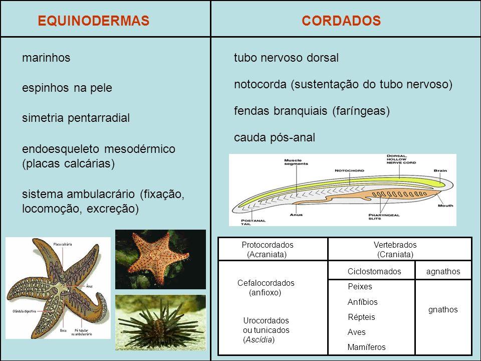 EQUINODERMAS marinhos espinhos na pele endoesqueleto mesodérmico (placas calcárias) sistema ambulacrário (fixação, locomoção, excreção) simetria pentarradial CORDADOS tubo nervoso dorsal notocorda (sustentação do tubo nervoso) fendas branquiais (faríngeas) cauda pós-anal Protocordados (Acraniata) Vertebrados (Craniata) Cefalocordados (anfioxo) Urocordados ou tunicados (Ascídia) Ciclostomados Peixes Anfíbios Répteis Aves Mamíferos agnathos gnathos