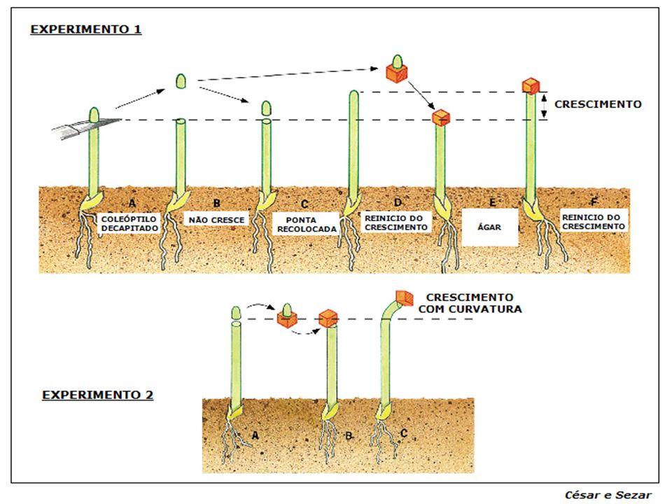 Ácido-Indolil-Acético (AIA) Natural Ácido 2,4 diclorofenoxiácético (2,4D) Sintético Ácido naftalenoacético (ANA) Sintético Auxinas ( Auxien = crescer)