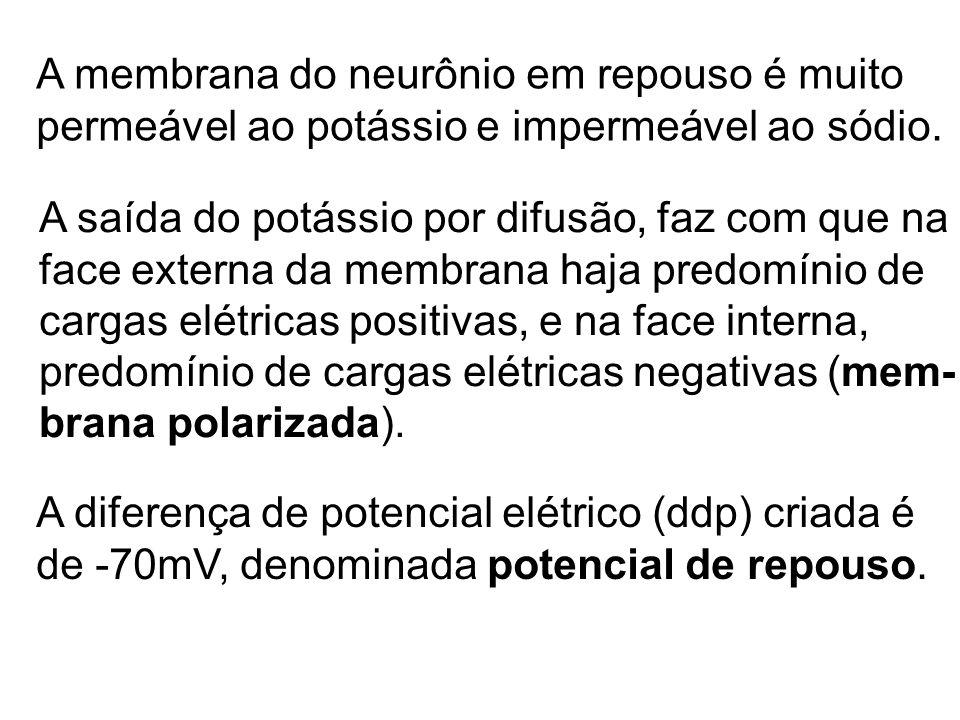 A membrana do neurônio em repouso é muito permeável ao potássio e impermeável ao sódio. A saída do potássio por difusão, faz com que na face externa d