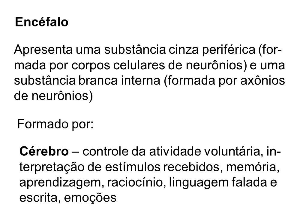 Encéfalo Apresenta uma substância cinza periférica (for- mada por corpos celulares de neurônios) e uma substância branca interna (formada por axônios