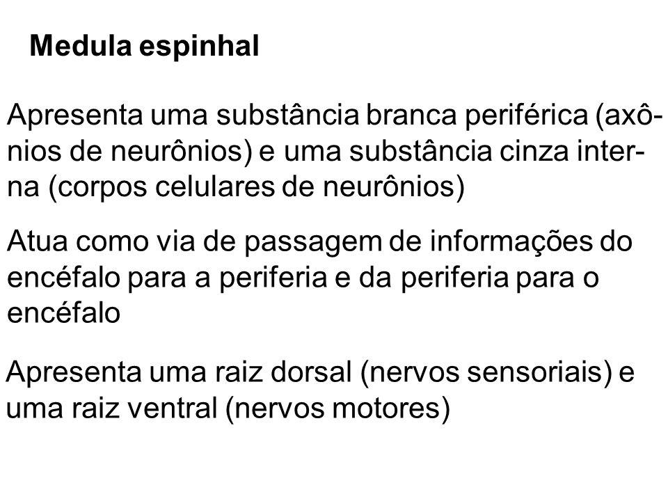 Medula espinhal Apresenta uma substância branca periférica (axô- nios de neurônios) e uma substância cinza inter- na (corpos celulares de neurônios) A