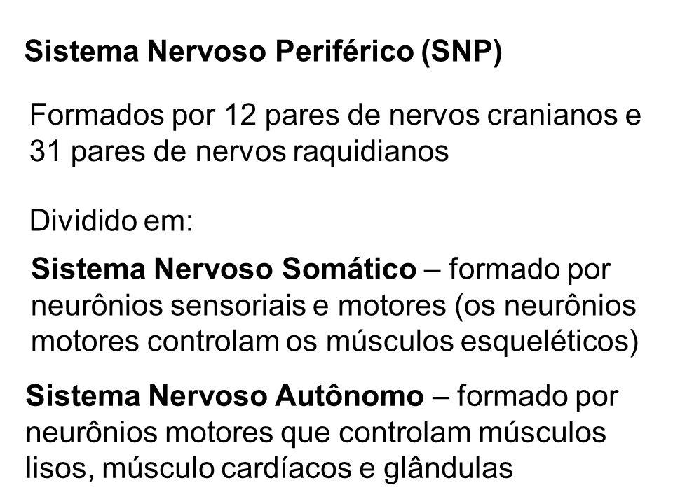 Sistema Nervoso Periférico (SNP) Formados por 12 pares de nervos cranianos e 31 pares de nervos raquidianos Dividido em: Sistema Nervoso Somático – fo