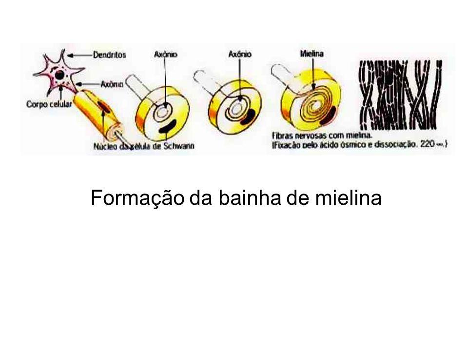 Formação da bainha de mielina