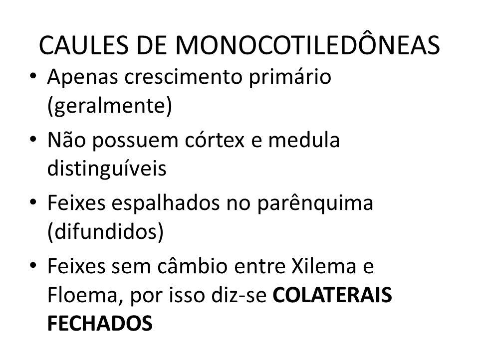 CAULES DE MONOCOTILEDÔNEAS Apenas crescimento primário (geralmente) Não possuem córtex e medula distinguíveis Feixes espalhados no parênquima (difundi