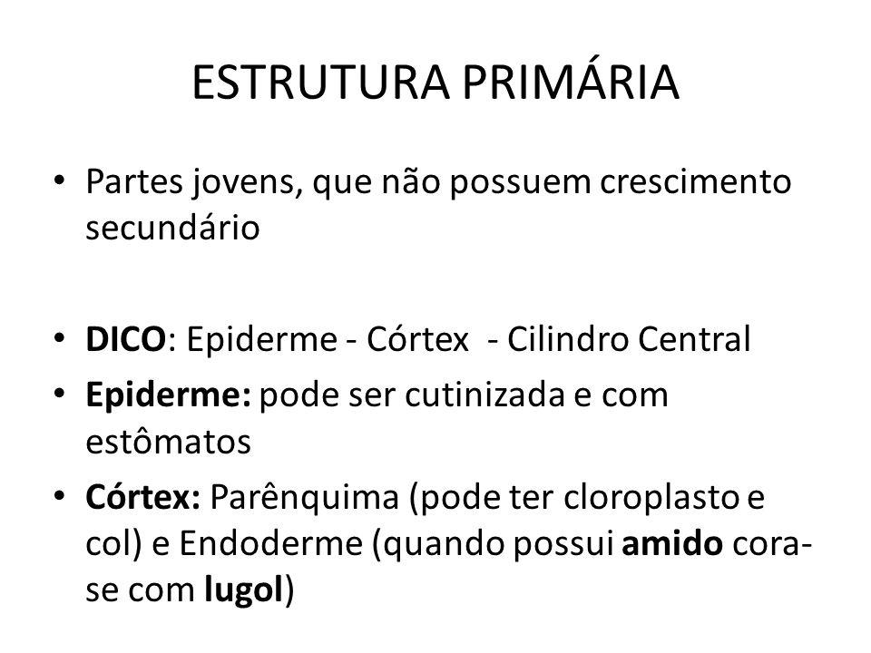 ESTRUTURA PRIMÁRIA Partes jovens, que não possuem crescimento secundário DICO: Epiderme - Córtex - Cilindro Central Epiderme: pode ser cutinizada e co
