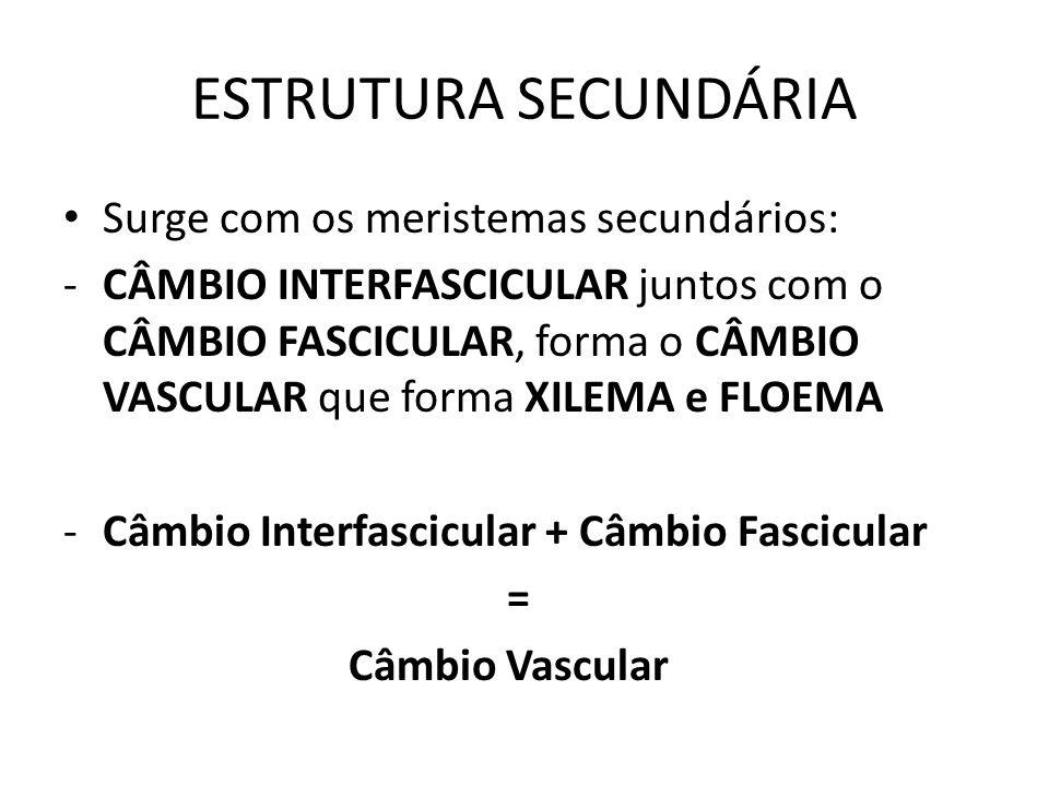 ESTRUTURA SECUNDÁRIA Surge com os meristemas secundários: -CÂMBIO INTERFASCICULAR juntos com o CÂMBIO FASCICULAR, forma o CÂMBIO VASCULAR que forma XI