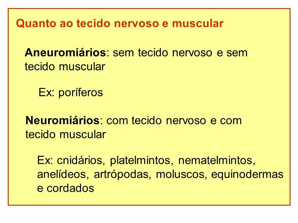 Quanto ao tecido nervoso e muscular Aneuromiários: sem tecido nervoso e sem tecido muscular Ex: poríferos Neuromiários: com tecido nervoso e com tecid