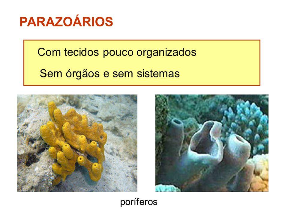 PARAZOÁRIOS Com tecidos pouco organizados Sem órgãos e sem sistemas poríferos