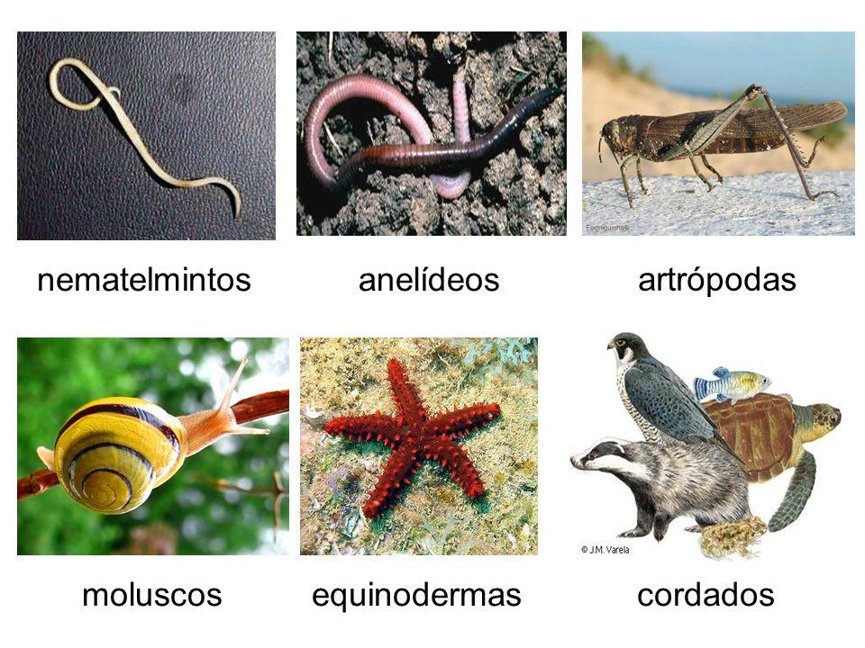 anelídeos artrópodas equinodermasmoluscos nematelmintos cordados
