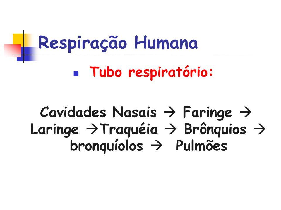 Respiração Humana Tubo respiratório: Cavidades Nasais Faringe Laringe Traquéia Brônquios bronquíolos Pulmões