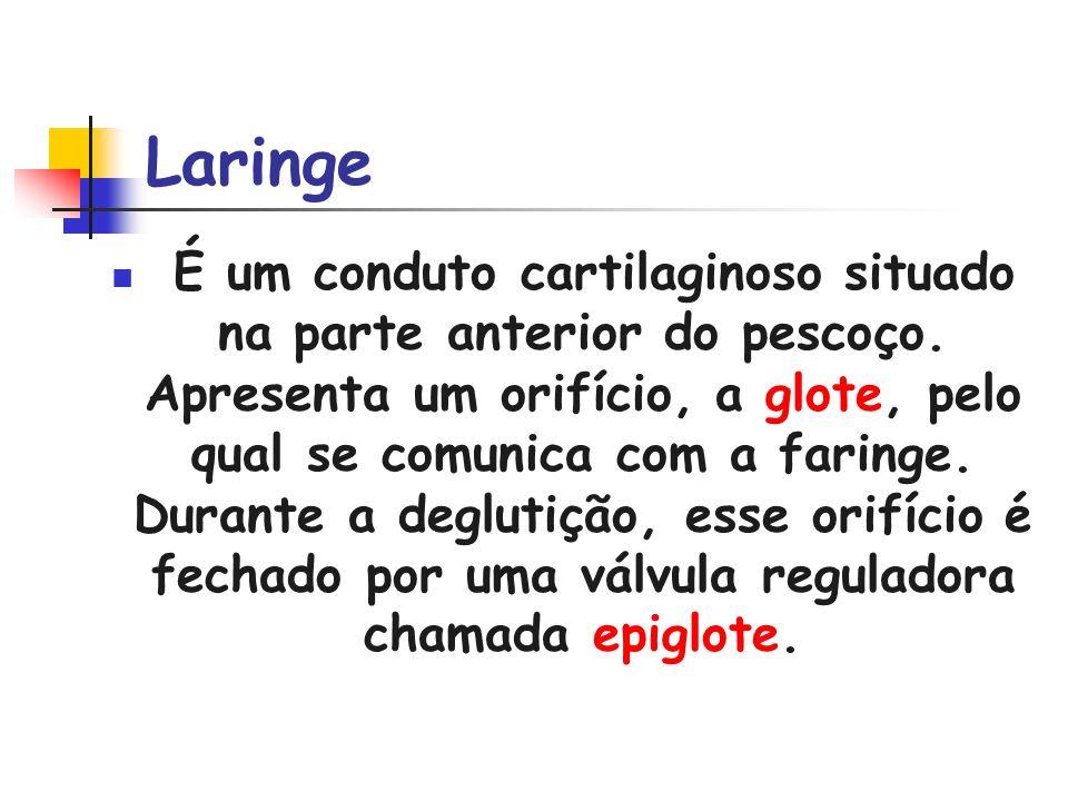 Laringe É um conduto cartilaginoso situado na parte anterior do pescoço. Apresenta um orifício, a glote, pelo qual se comunica com a faringe. Durante