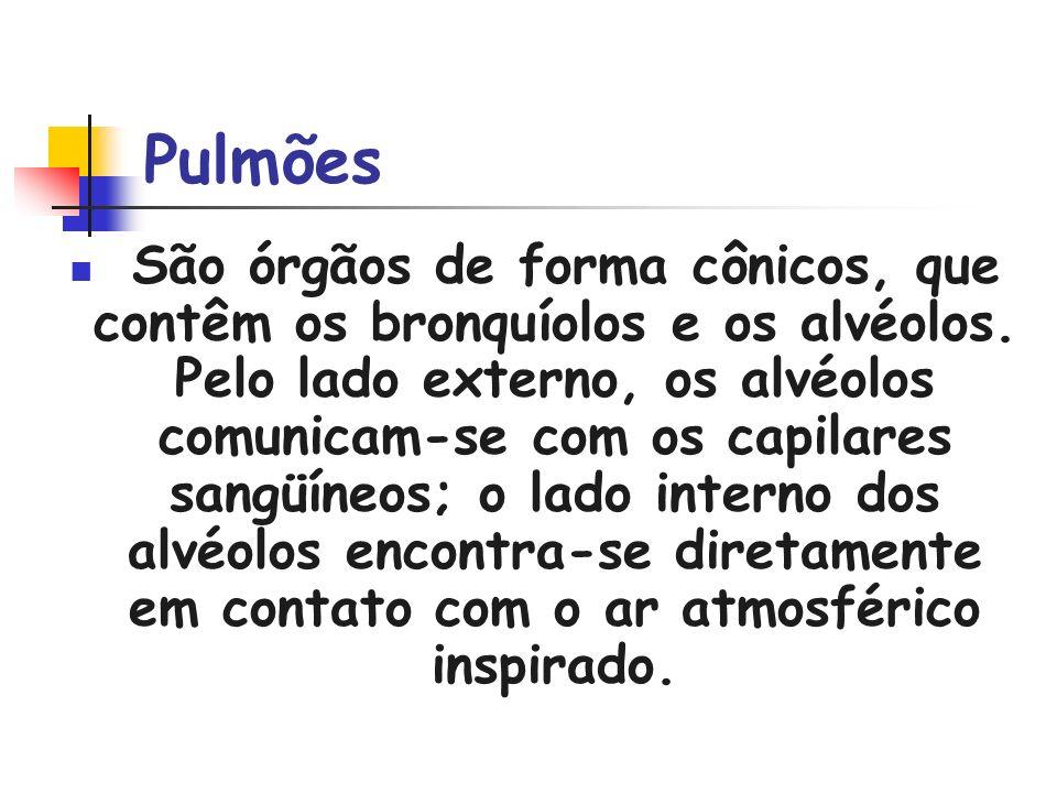 Pulmões São órgãos de forma cônicos, que contêm os bronquíolos e os alvéolos. Pelo lado externo, os alvéolos comunicam-se com os capilares sangüíneos;
