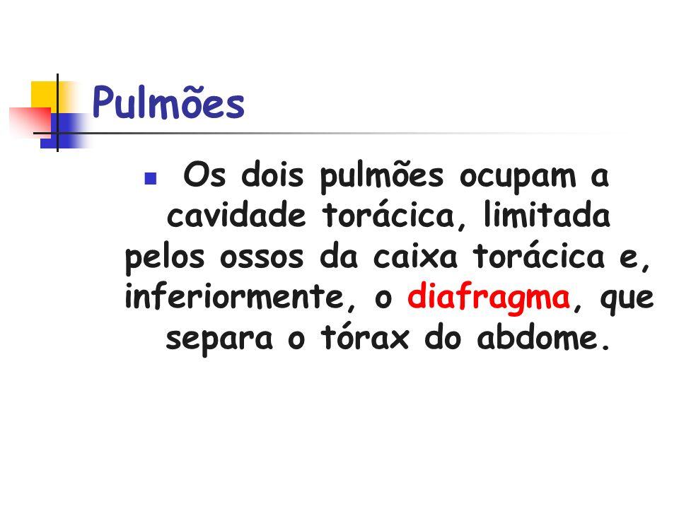 Pulmões Os dois pulmões ocupam a cavidade torácica, limitada pelos ossos da caixa torácica e, inferiormente, o diafragma, que separa o tórax do abdome