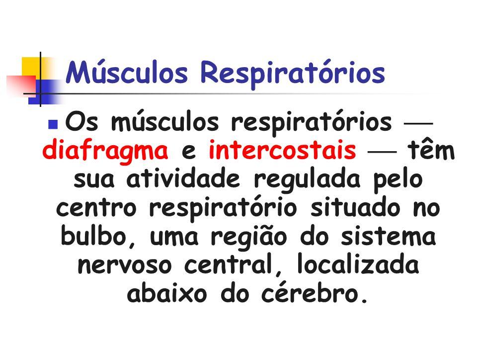 Músculos Respiratórios Os músculos respiratórios diafragma e intercostais têm sua atividade regulada pelo centro respiratório situado no bulbo, uma re