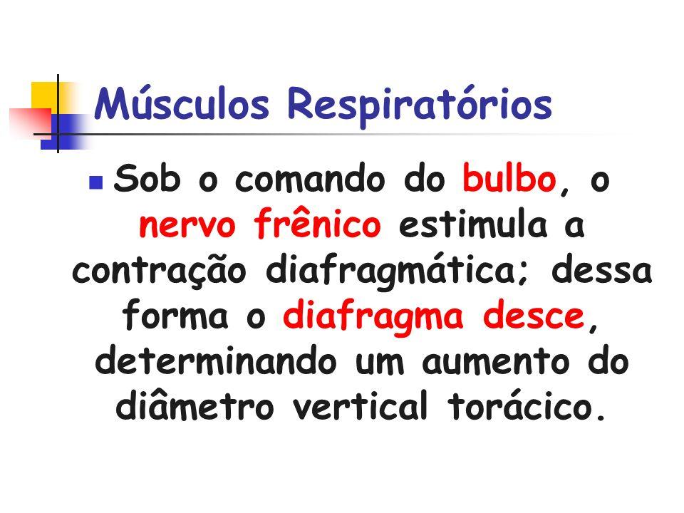 Músculos Respiratórios Sob o comando do bulbo, o nervo frênico estimula a contração diafragmática; dessa forma o diafragma desce, determinando um aume
