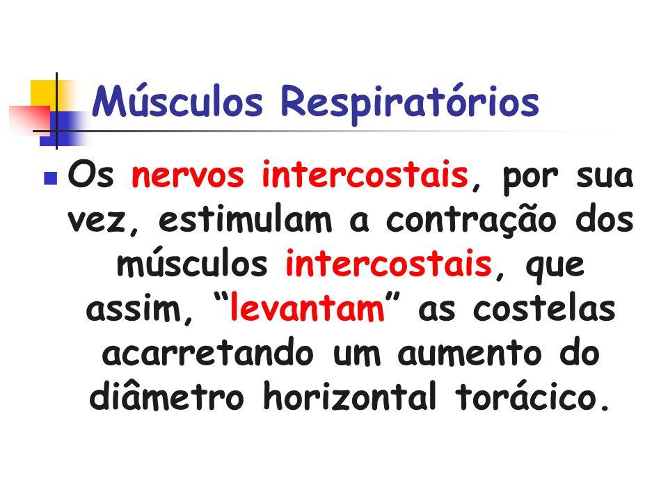 Músculos Respiratórios Os nervos intercostais, por sua vez, estimulam a contração dos músculos intercostais, que assim, levantam as costelas acarretan