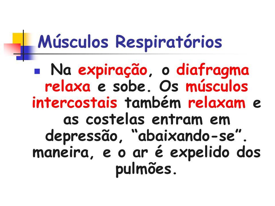 Músculos Respiratórios Na expiração, o diafragma relaxa e sobe. Os músculos intercostais também relaxam e as costelas entram em depressão, abaixando-s