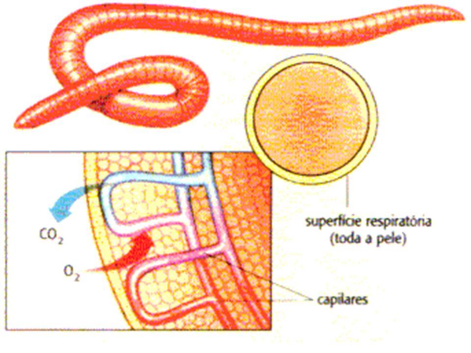 Respiração Branquial Brânquias são estruturas constituídas por delicados filamentos revestidos por epitélio e considerável rede de capilares sangüíneos.