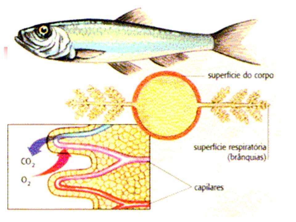 Traquéia é um conduto dotado de uma armadura cartilaginosa, que mantém o tubo traqueal sempre aberto.