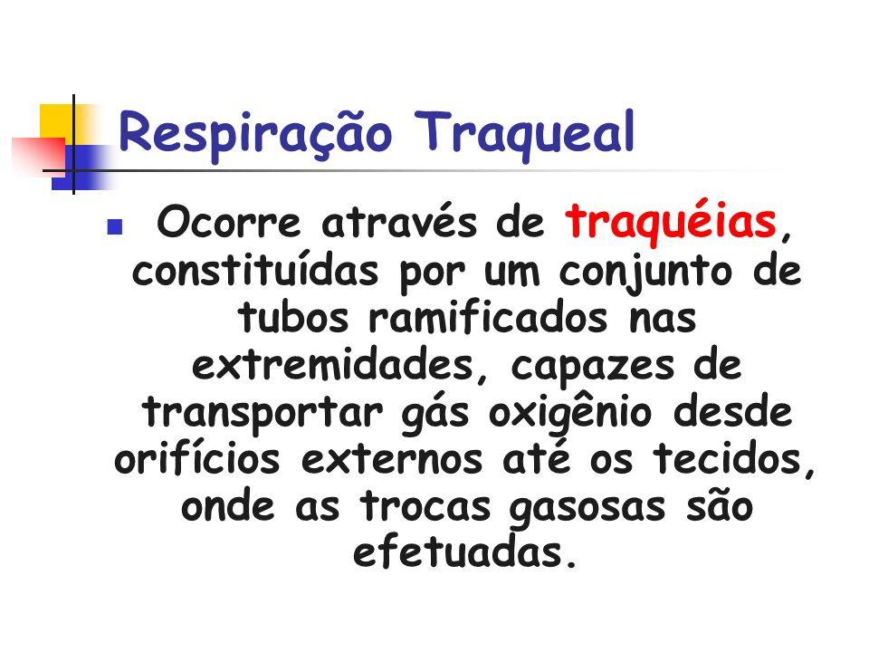Respiração Traqueal Ocorre através de traquéias, constituídas por um conjunto de tubos ramificados nas extremidades, capazes de transportar gás oxigên
