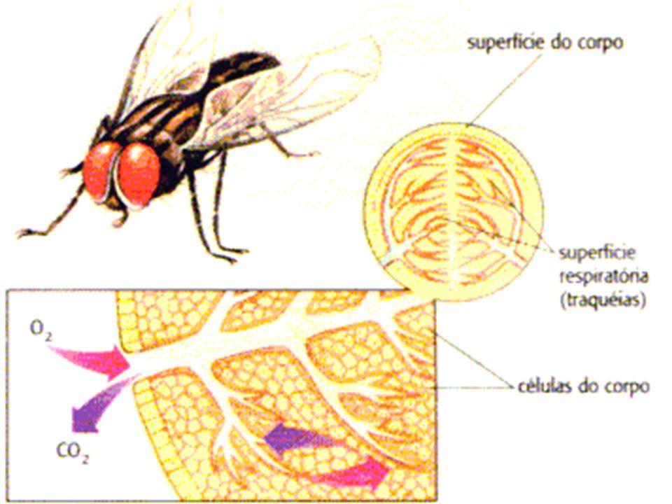Pulmões São órgãos de forma cônicos, que contêm os bronquíolos e os alvéolos.