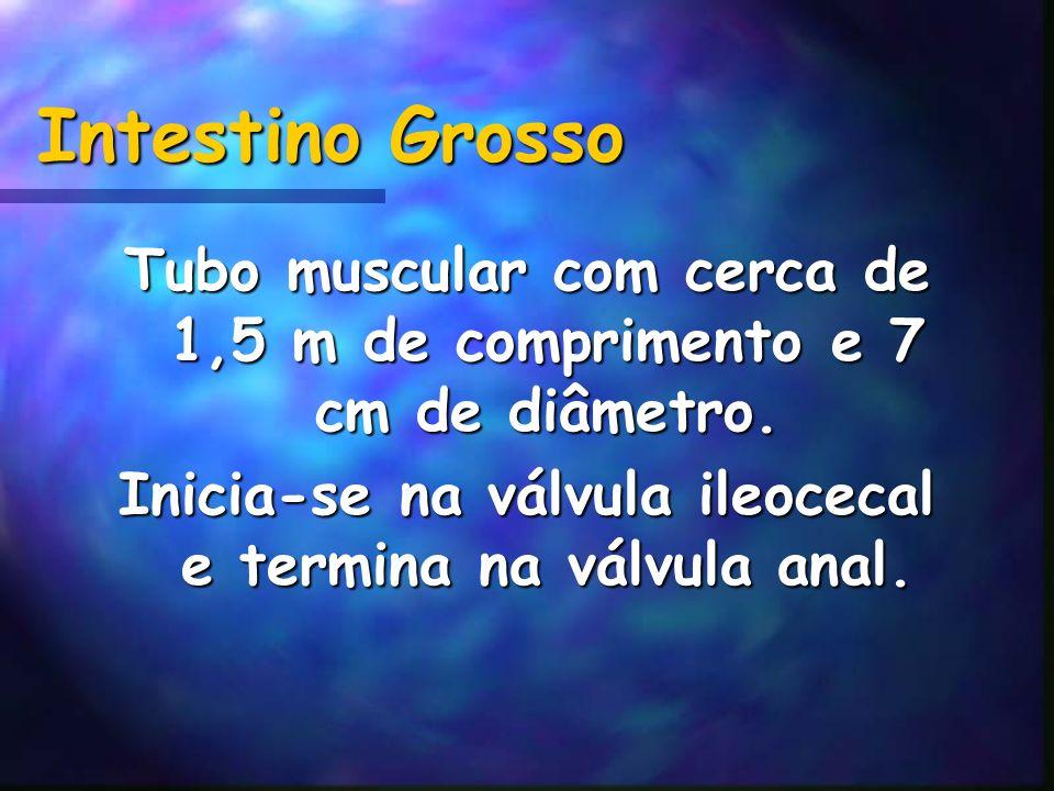Intestino Grosso Tubo muscular com cerca de 1,5 m de comprimento e 7 cm de diâmetro. Inicia-se na válvula ileocecal e termina na válvula anal.