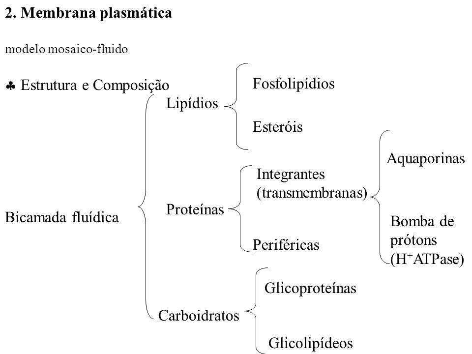 2. Membrana plasmática modelo mosaico-fluido Estrutura e Composição Bicamada fluídica Lipídios Esteróis Periféricas Integrantes (transmembranas) Prote
