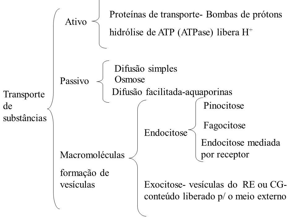 Difusão facilitada-aquaporinas Ativo Difusão simples Passivo Macromoléculas formação de vesículas Proteínas de transporte- Bombas de prótons hidrólise de ATP (ATPase) libera H + Endocitose Exocitose- vesículas do RE ou CG- conteúdo liberado p/ o meio externo Transporte de substâncias Pinocitose Fagocitose Endocitose mediada por receptor Osmose