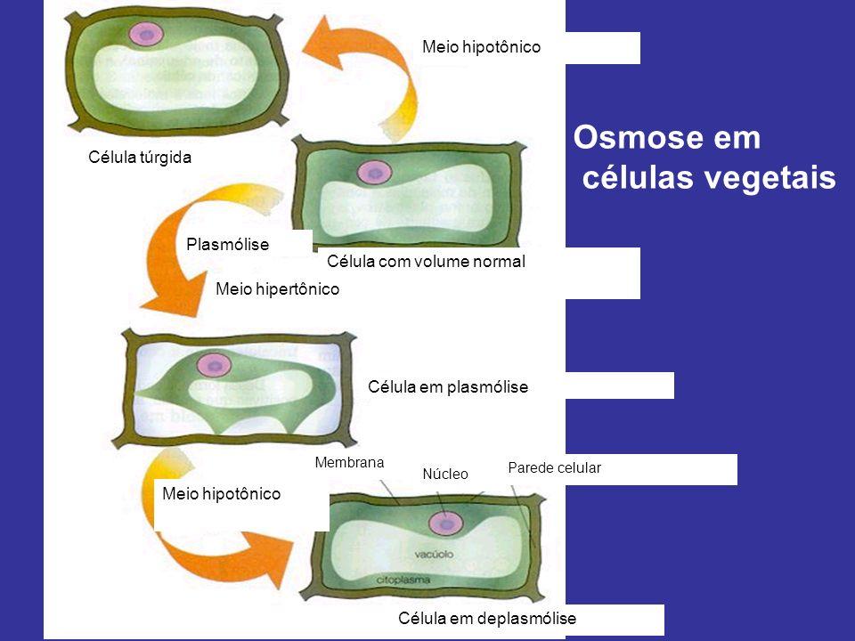 Meio hipotônico Célula túrgida Célula com volume normal Plasmólise Meio hipertônico Célula em plasmólise Meio hipotônico Célula em deplasmólise Membrana Parede celular Núcleo Osmose em células vegetais