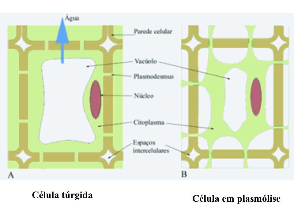 Célula túrgida Célula em plasmólise