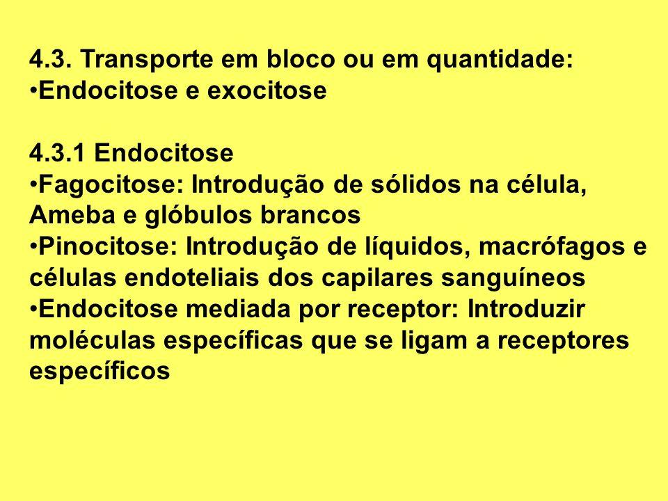 4.3. Transporte em bloco ou em quantidade: Endocitose e exocitose 4.3.1 Endocitose Fagocitose: Introdução de sólidos na célula, Ameba e glóbulos branc