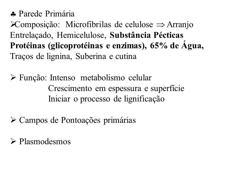 Parede Primária Composição: Microfibrilas de celulose Arranjo Entrelaçado, Hemicelulose, Substância Pécticas Protéinas (glicoprotéinas e enzimas), 65% de Água, Traços de lignina, Suberina e cutina Função: Intenso metabolismo celular Crescimento em espessura e superfície Iniciar o processo de lignificação Campos de Pontoações primárias Plasmodesmos